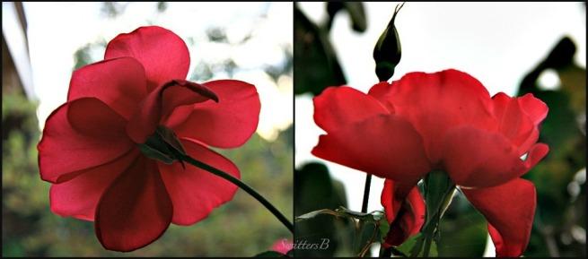 roses-backside-flowers-macro-photography-SwittersB