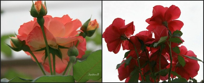 roses backside-photography-SwittersB