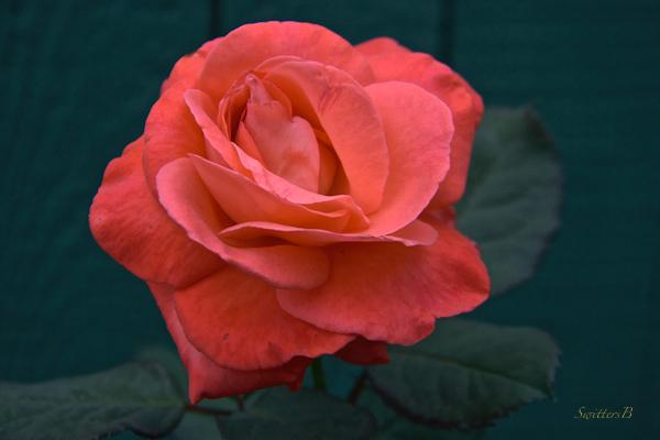 rough rose-macro-photography-flowers-SwittersB
