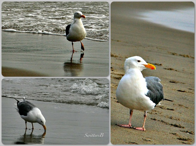 seagulls--Oregon Coast-Pacific City-photography-wildlife-birds-SwittersB
