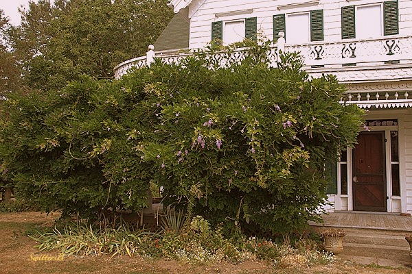 wisteria old house farm history photography SwittersB Zimmerman