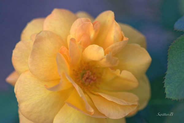 yellow rose-photography-flowers-garden-beauty-photography-SwittersB