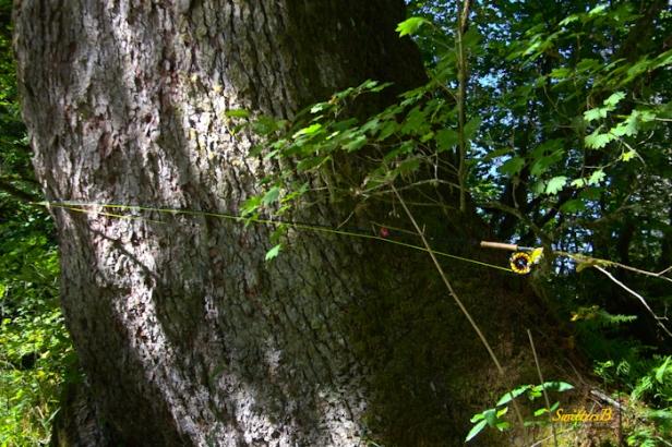 big tree-rod length-nature-Oregon-photography-SwittersB