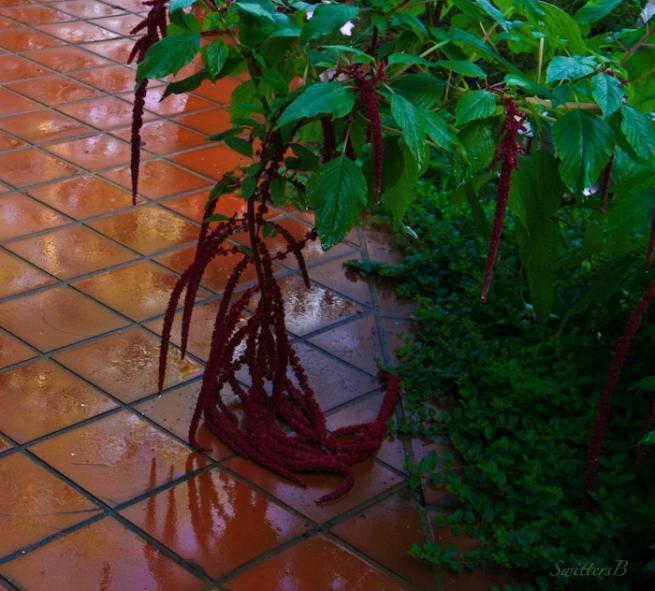 drooping-blooms-Oregon-rain-flowers-SwittersB