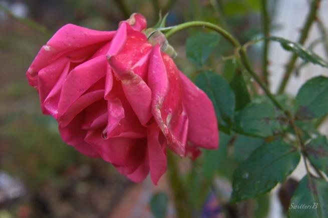 drooping-rose-rain-Oregon-SwittersB