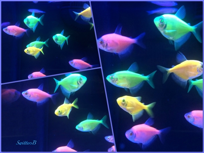 glow fish--acquarium-fish-swittersb-photography