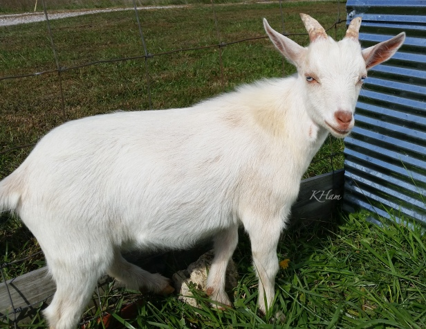 goat-Tex-baby goat-farm-KHam-photography-SwittersBjpg