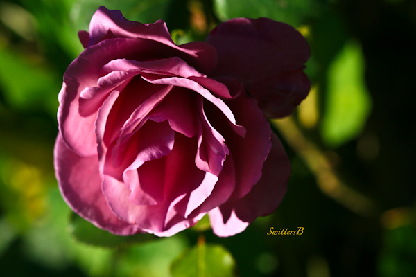 Lavender Rose-Portland-photography-macro-SwittersB