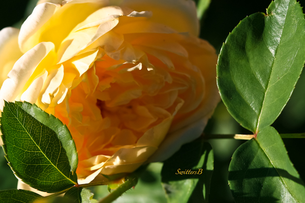 Pale Yellow Rose-Macro Photography-SwittersB-Portland