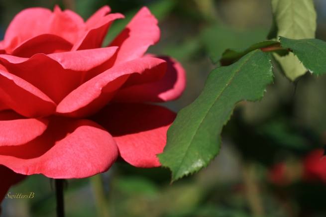 Red Rose-leaf-macro-Portland-Photography-SwittersB