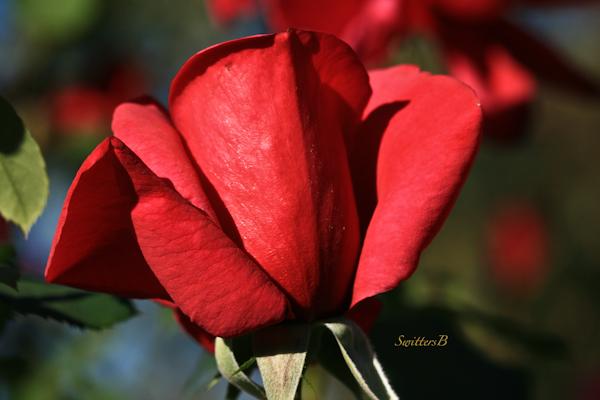 Rose Bud-red rose-Portland-Photography-Macro-SwittersB