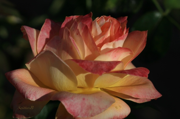 Roses-Fall-Portland-Photography-Macro-SwittersB