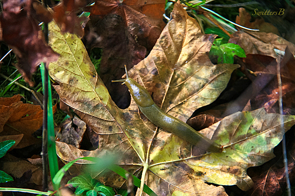 slug-leaf-nature-photography-SwittersB-Oregon