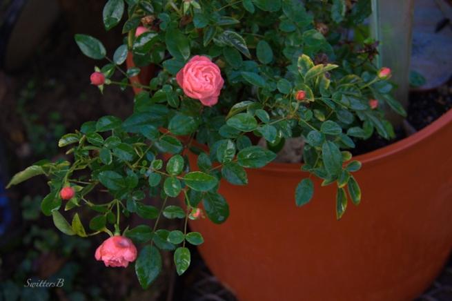 small rose-garden-SwittersB-Fall