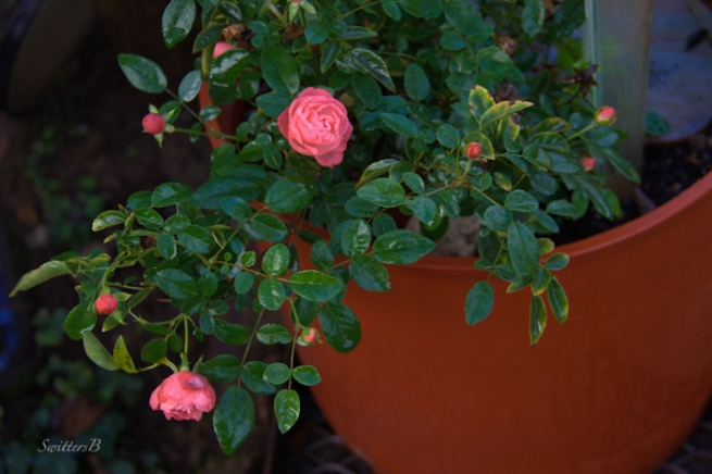 small rose-garden-SwittersB-Fall