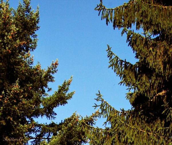 two trees--reaching-differences-blue sky-nature-photography-SwittersB