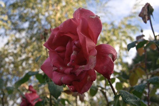 wet-rose-Fall-SwittersB-garden