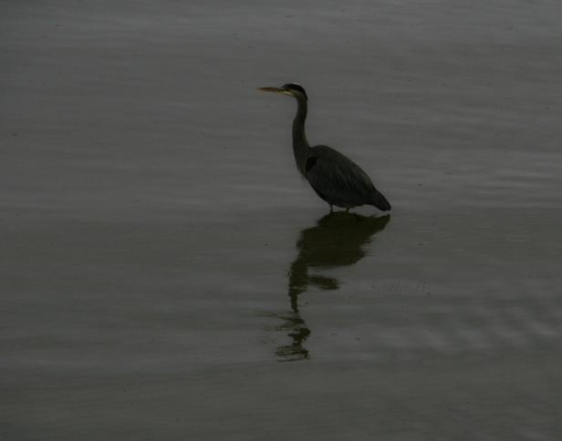 blue heron-Oregon coast-Siletz Bay-bird-SwittersB