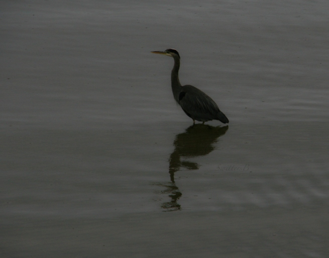 blue heron-Oregon coast-Siletz Bay-bird-SwittersB