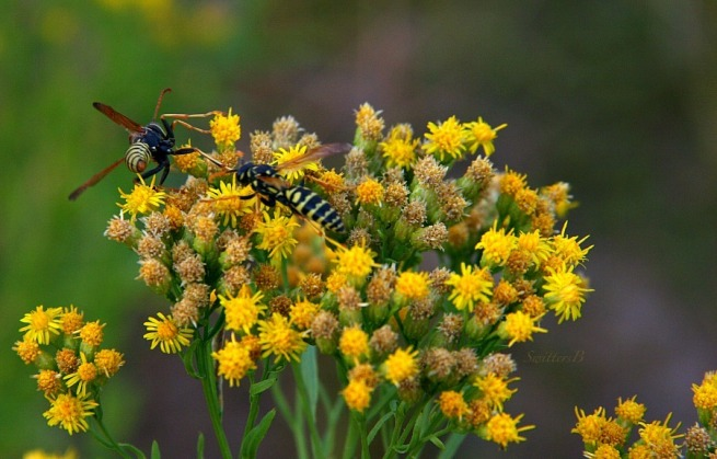 busy gathering-pollen-wasps-Oregon-photography-nature-SwittersB