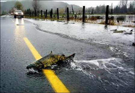 Chum Salmon-Oregon-Salmon-wrong way-Kilchis River-SwittersB