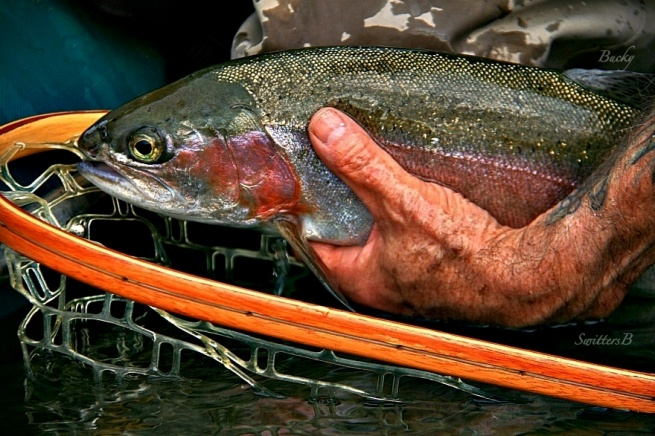 -gently back-trout-release-photography-fish-rainbow trout-Oregon-SwittersB-photography