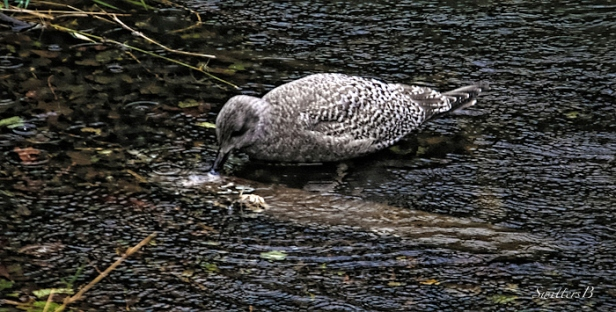 Gull-dead salmon-river-Oregon-photography-SwittersB
