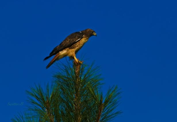hawk perched-tree-Oregon-photography-SwittersB