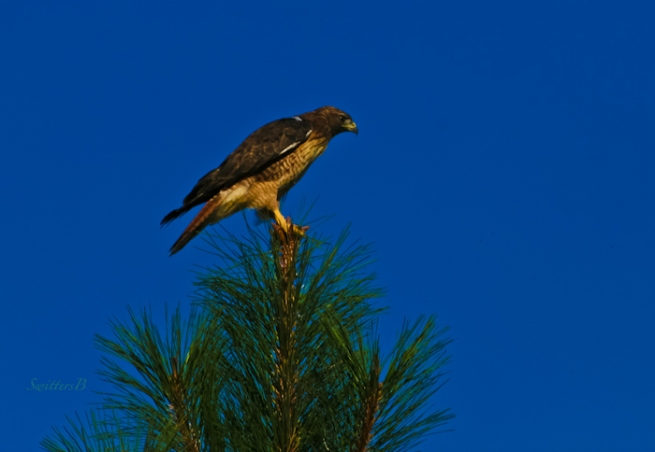 hawk perched-tree-Oregon-photography-SwittersB