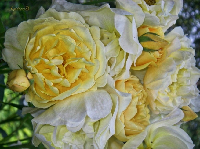 last gasp-pale yellow roses-SwittersB