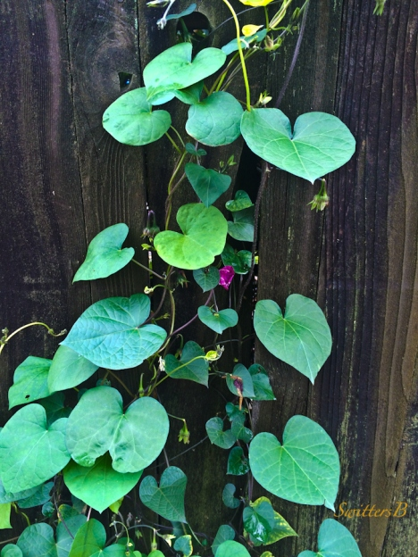 vine and board-fence-photography-SwittersB