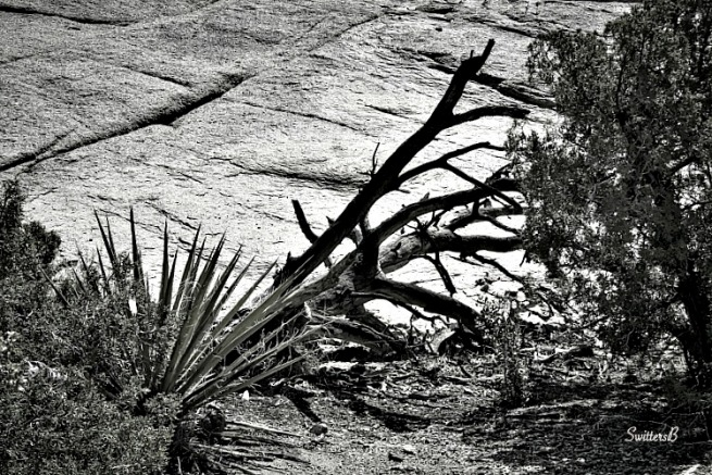 desert-snags-trail's end-Mojave-Joshua Tree-photography-SwittersB
