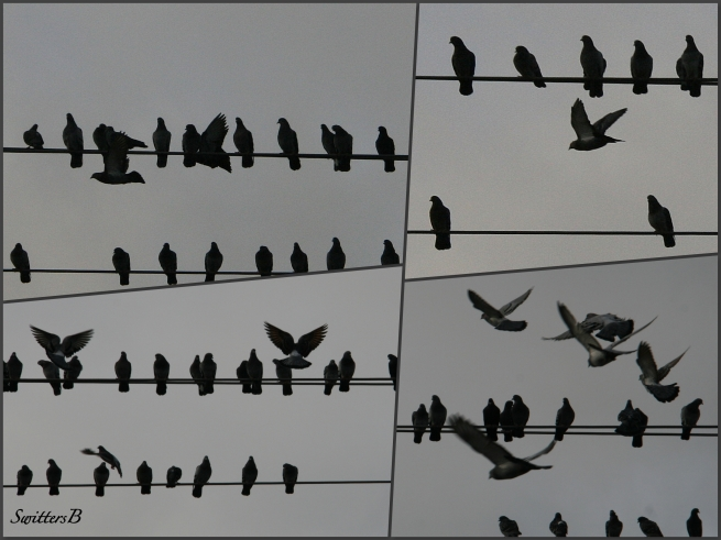 pigeons on a wire-SwittersB-photography-pigeons-Portland