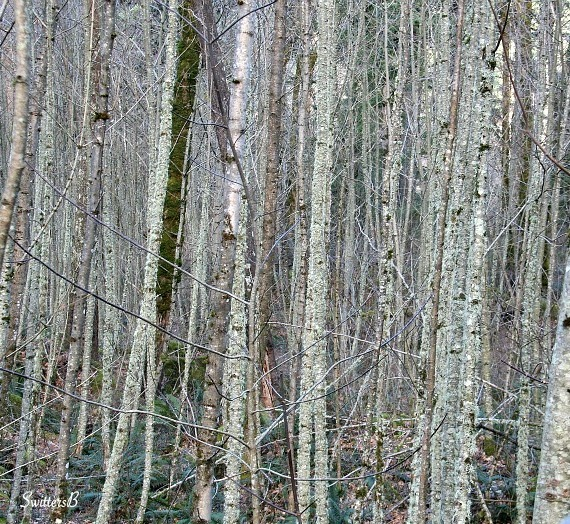 thicket+alders-trees-Oregon-Gorge-SwittersB-photography