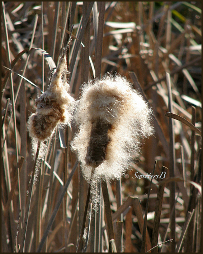 cattails-fuzzy-nature-reeds-photography-Oregon-SwittersB