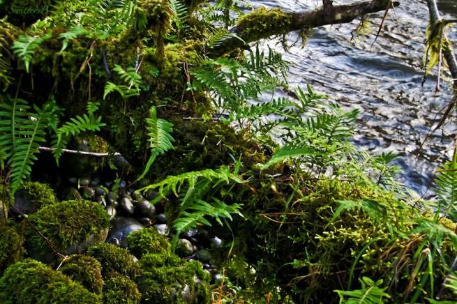 Oregon, ferns, moss, river, SwittersB