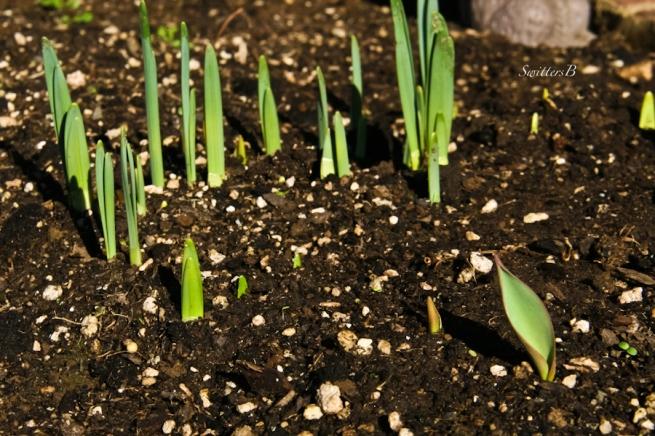 garden, daffodils, tupiip, flowers, Portland, SwittersB