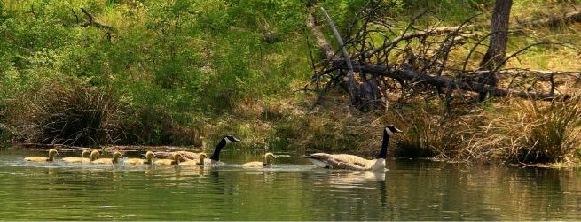 Geese-Oregon-Lake-Goslings-SwittersB