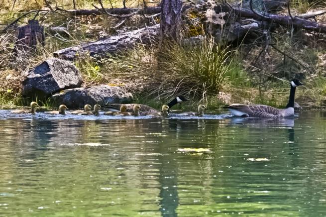 Geese-Oregon-SwittersB-Lake-Goslings