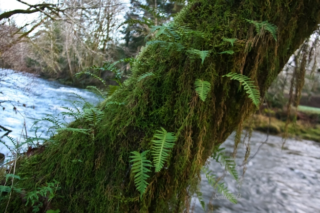 Oregon eurhynchium moss, Oregon beak moss, hanging moss, Oregon coast, SwittersB