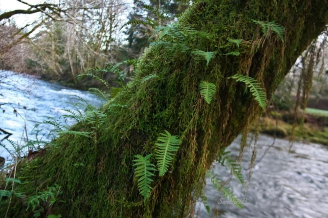 Oregon eurhynchium moss, Oregon beak moss, hanging moss, Oregon coast, SwittersB