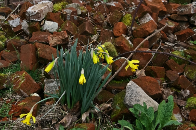 bricks-daffodils-Spring-Oregon-SwittersB