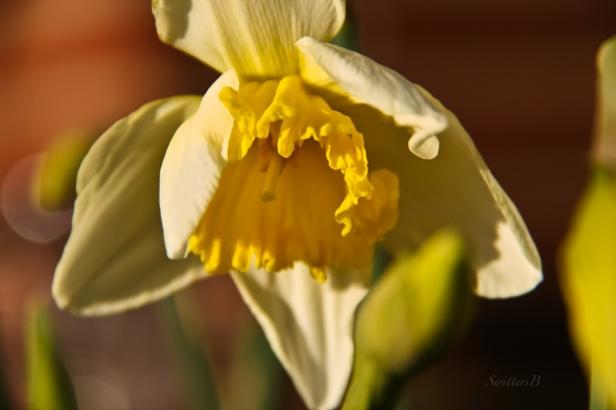 daffodil-Spring-flower-SwittersB