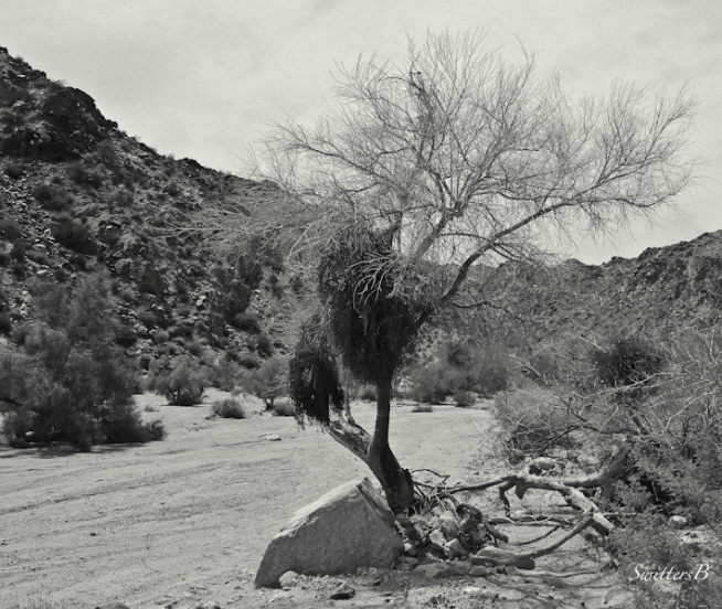 desert-wash-silver tree-SwittersB-photography