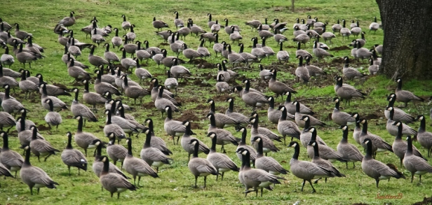 gaggle-geese-Oregon-SwittersB