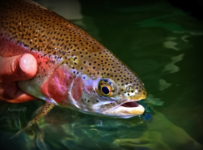 rainbow trout-fish-release-Oregon-SwittersB-fly fishing
