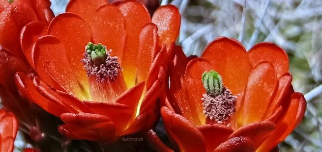 Red-Cactus Blooms-Desert-Mojave- JTNP SwittersB