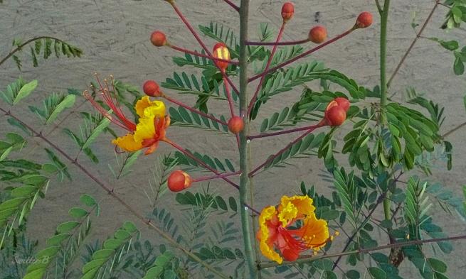 blooms-plant-flowers-landscape-SwittersB-Pride of Barbados Flower
