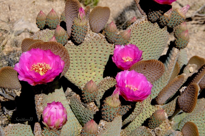 cactus blooms-Mojave Desert-Opuntia basilaris-beavertail-flowers-nature-SwittersB