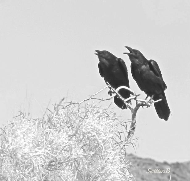 duet-crows-SwittersB-birds